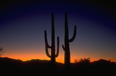 image of Saguaro cactuses at sunset
